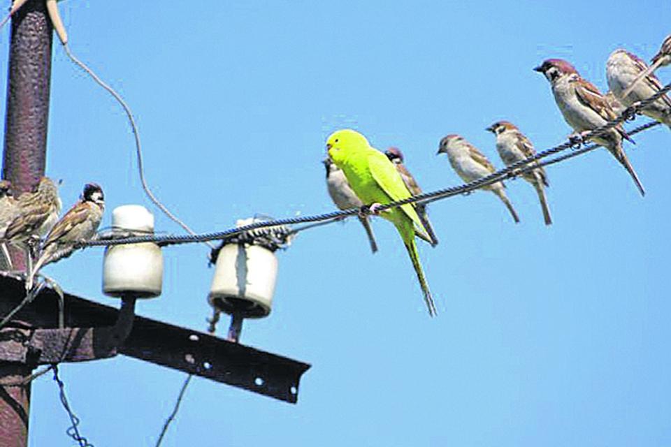 Блудный попугай прибился к воробьиной стае