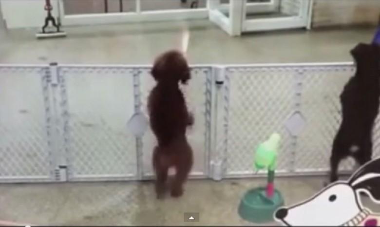 Хіт мережі: собака на радощах танцює сальсу (ВІДЕО)